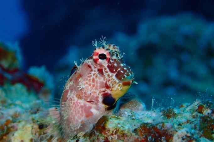 Blenny Scuba diving Taketomi Ishigaki Okinawa Japan