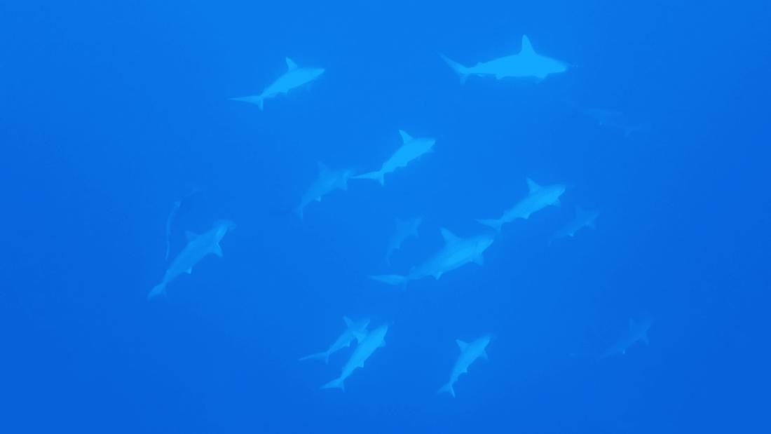 Hammerhead sharks Diving Yonaguni Okinawa Japan