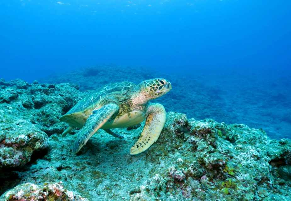 Turtle Kuroshima diving in Ishigaki Okinawa Japan
