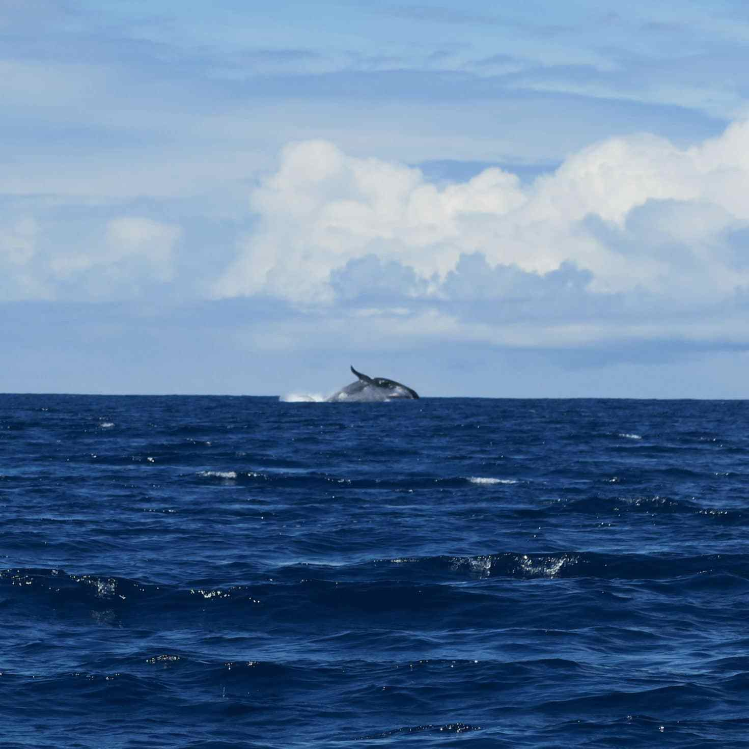 Whale watching Moorea French Polynesia