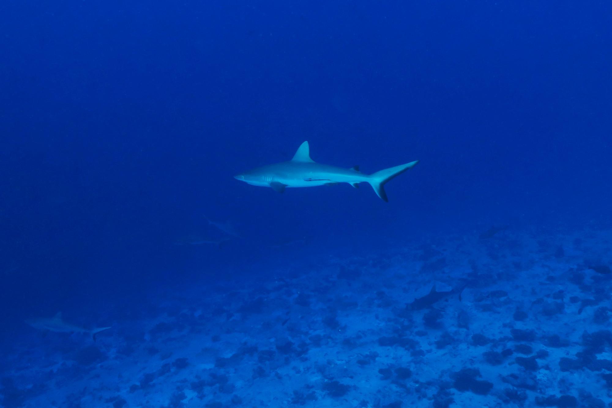 shark diving north pass fakarava