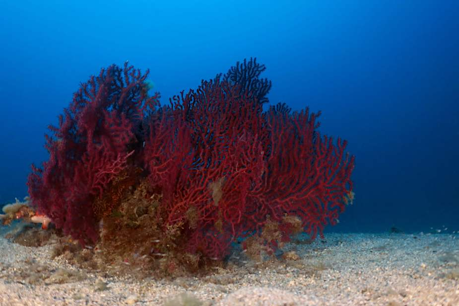 scuba diving in Menton - red gorgonians - French Riviera