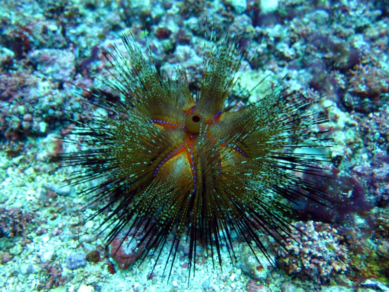 colourful urchin Komod Indonesia