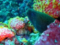 Maray eel Komodo Indonesia