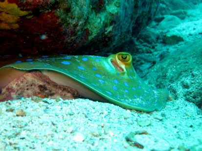 blue spotted ray scuba diving Koh Tao Thailand