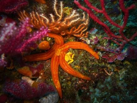 sea star gorgonian Marseille