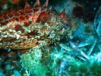 red scorpion fish Marseille