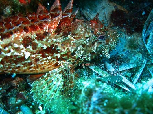 red scorpion fish Marseille