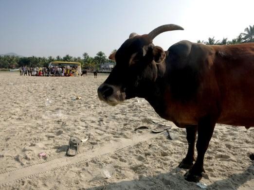 cow on murudeshwar beach
