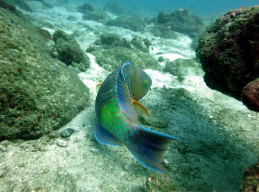 parrotfish diving netani india