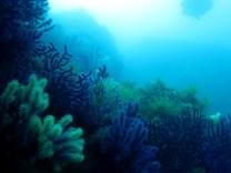 Gorgonians Costa Brava