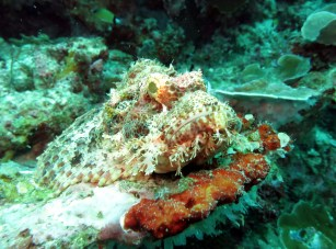 Scorpion fish Pescador island Moalboal Cebu Philippines
