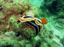 Nudibranch Scuba diving Malapascua Philippines
