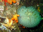 Football sea squirt Oban Firth of Lorne scuba diving Scotland