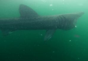 Basking shark Sound of Mull Scotland