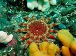 Sun star scuba diving Farne Islands England UK