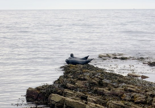 Seals at Old Keiss Castle Caithness Highlands Scotland