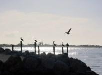 Pelicans Key Largo Florida USA