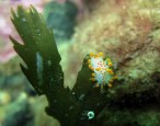 Nudibranch Scuba diving St Cats Loch Fyne Scotland