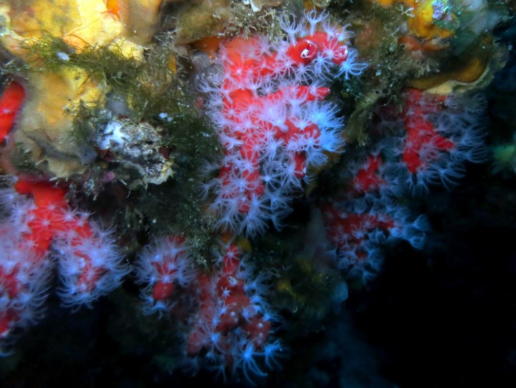 Red coral Scuba diving Portofino Italy
