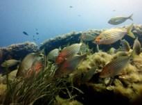 Salema / Cow breams Scuba diving Portofino Italy