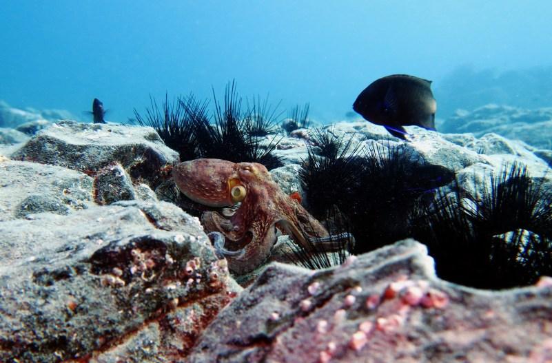 Octopus scuba diving Tenerife Canary Islands