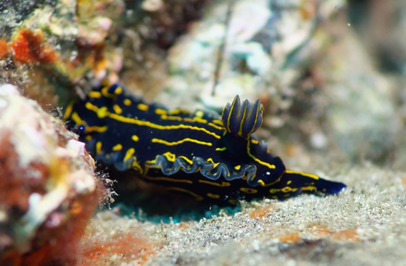 Nudibranch scuba diving Tenerife Canary Islands