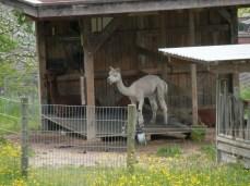 An alpaca... or possibly a llama?