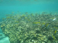 Virgate rabbitfish in their territory