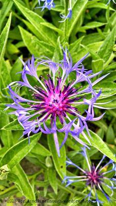 A beautiful bachelor's button at the Joel E. Ferris Perennial Garden in Spokane.