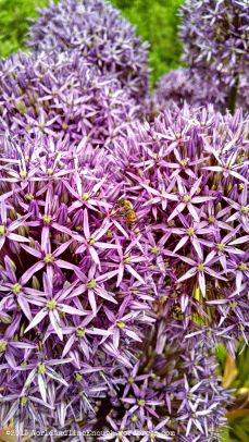 Bees love the flowers of this blooming onion at the Joel E. Ferris Perennial Garden.