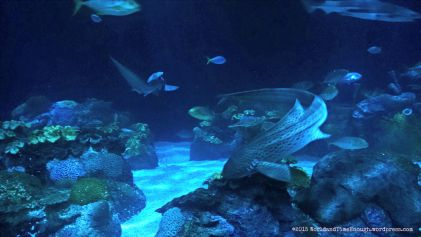 The massive wild reef tank features many sharks as well as schools of other fish.
