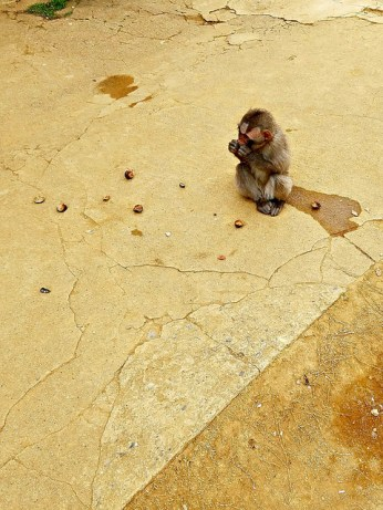 Baby macaque snacking