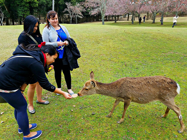 Feeding wild deer at Nara Park