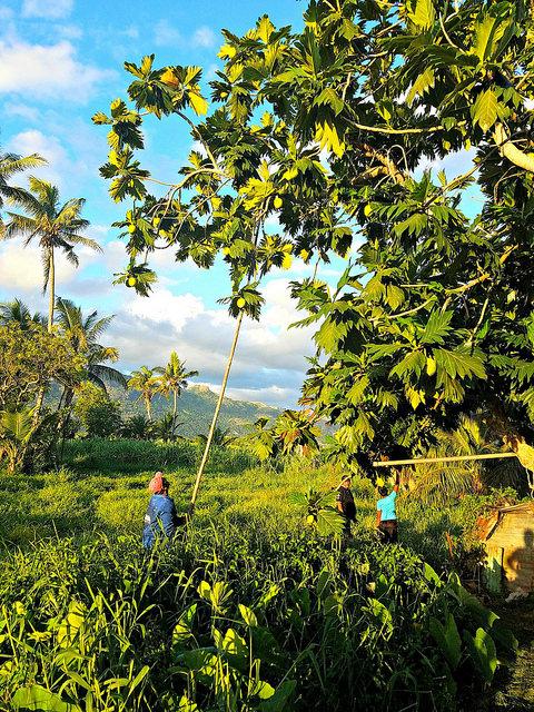 Picking breadfruit