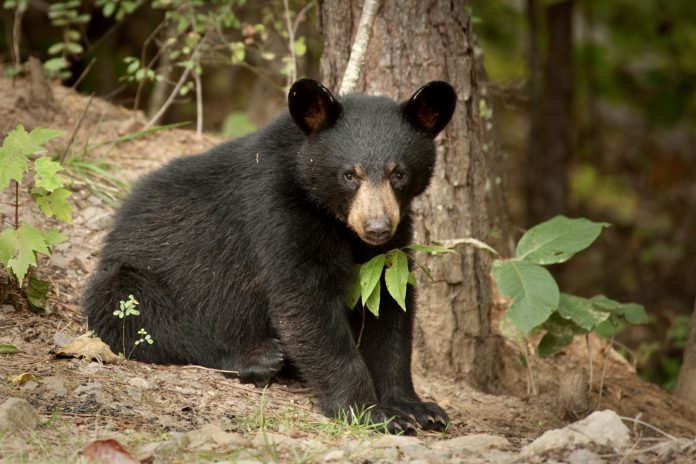 Breaking! 62 Bears Killed On First Day Of New Jersey's Bear Hunting Season; Help Us End The 2020 Hunt