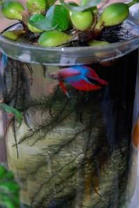 рыбка петушок в банке