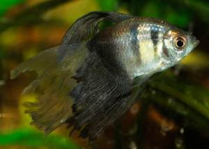 тетра рыбка