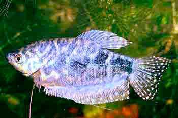 b044724dba39a0 Гурами мраморный размножение, содержание. | Мир аквариума