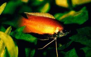 Honey Gourami