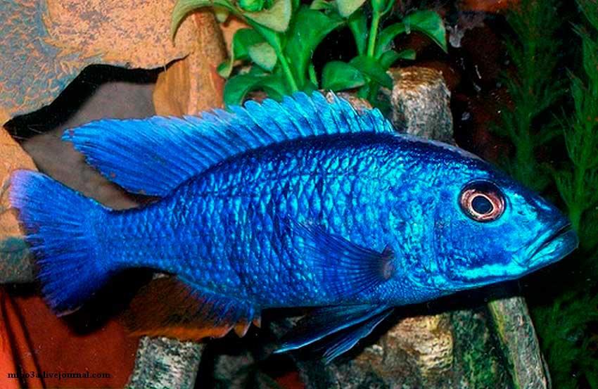 Chaplochromis3