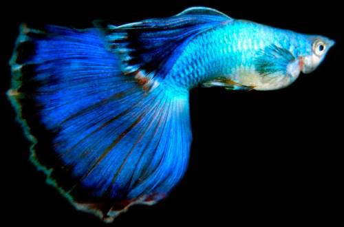 guppy peacock