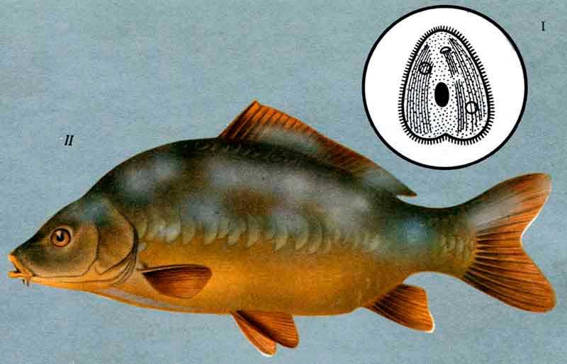 Хилодонеллез рыб