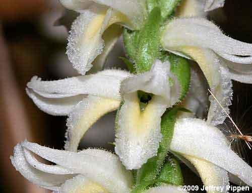 цветок spiranthes odorata