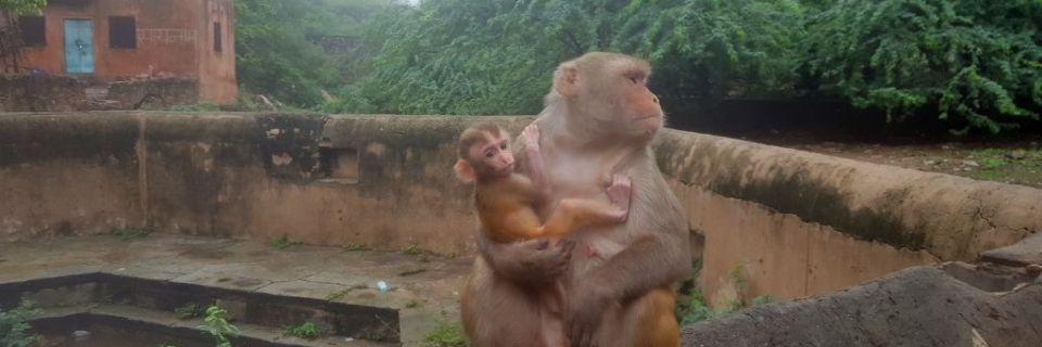 Monkey Tempel in Jaipur – und die ganze Affenbande brüllt!