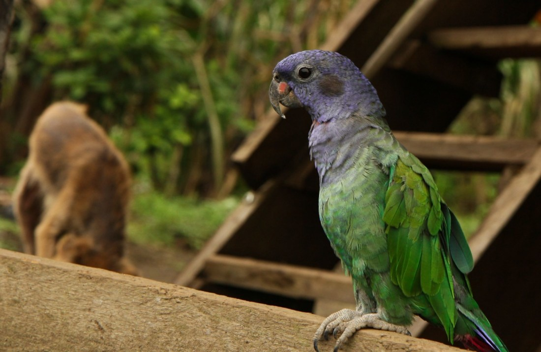 A beautiful purple and green parrot perched on a ledge.