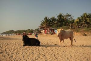 Cows on Goa beach