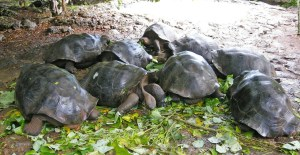 Galapagos turtles