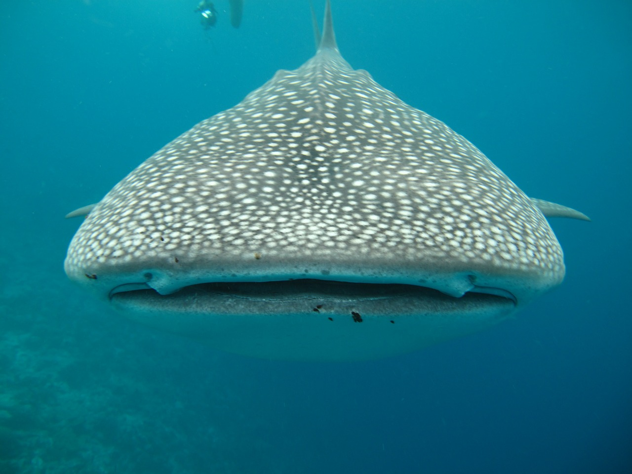 Whale shark up close and personal