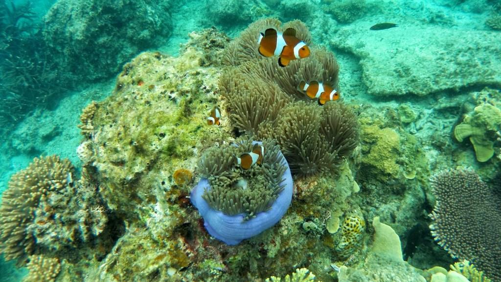 Underwater view of Clown Fish.